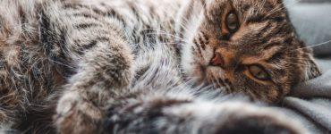 Como identificar e tratar a Leucemia Felina