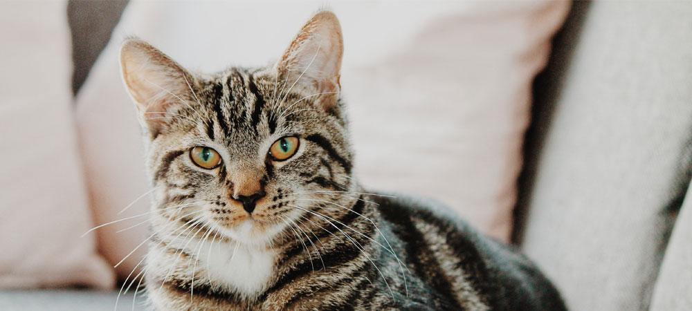 Vacinação do seu gato