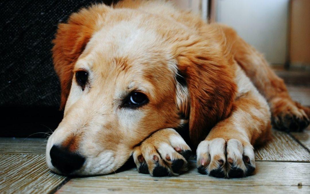 Gravidez psicológica em cadelas – sintomas e tratamento