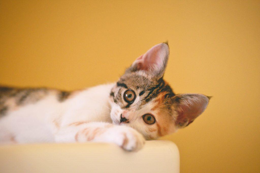 dermatite em gatos