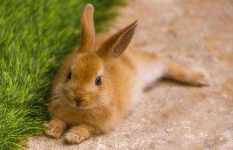 dermatite em coelhos e roedores
